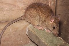 OFFERS General: Roof Rat Exclusion